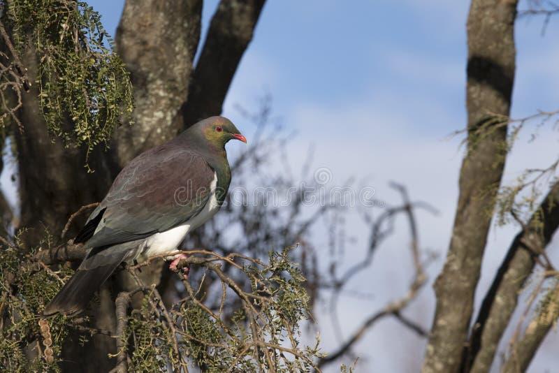 Uccelli del piccione della Nuova Zelanda nel parco nazionale del fiordland del lago di anua del te fotografia stock libera da diritti