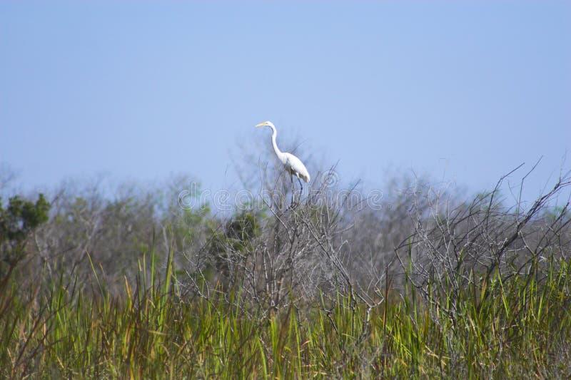 Uccelli del terreno paludoso nell'erba fotografie stock libere da diritti