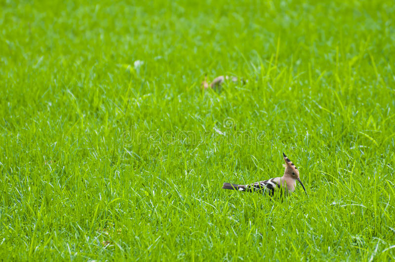 Uccelli del Upupa immagine stock