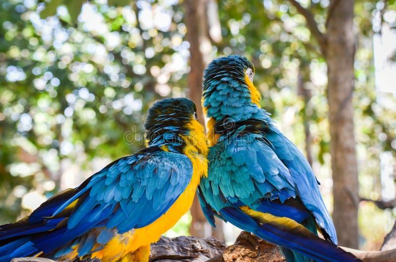 Uccelli dell'ara fotografia stock