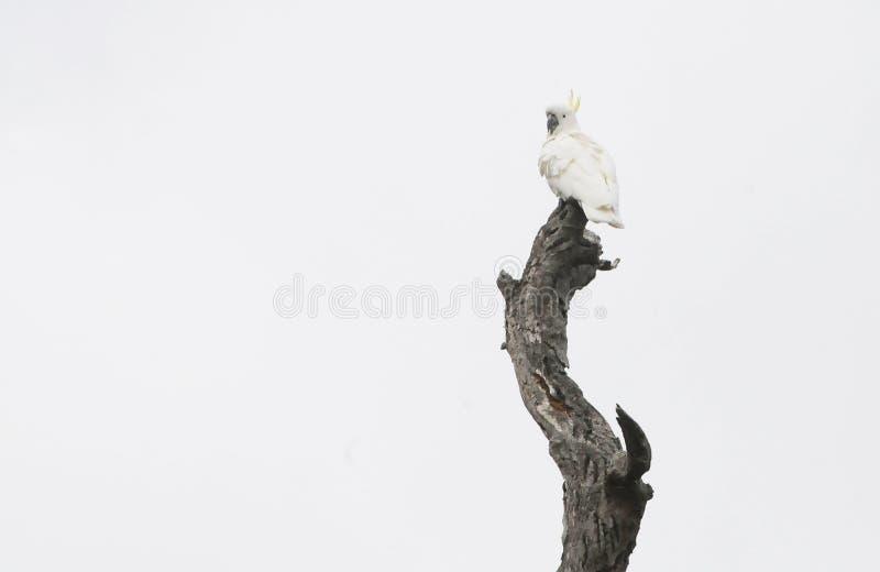 Uccelli dell'Australia Meridionale, paradiso lineare del parco immagini stock