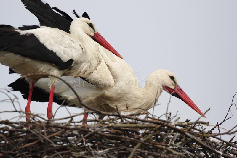 Uccelli della cicogna bianca su un nido durante il periodo di incastramento della molla fotografie stock libere da diritti