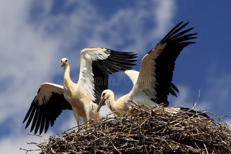 Uccelli della cicogna bianca su un nido nella stagione primaverile fotografia stock libera da diritti