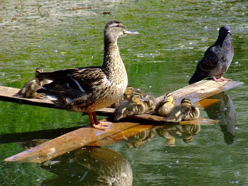 Uccelli di acqua immagine stock