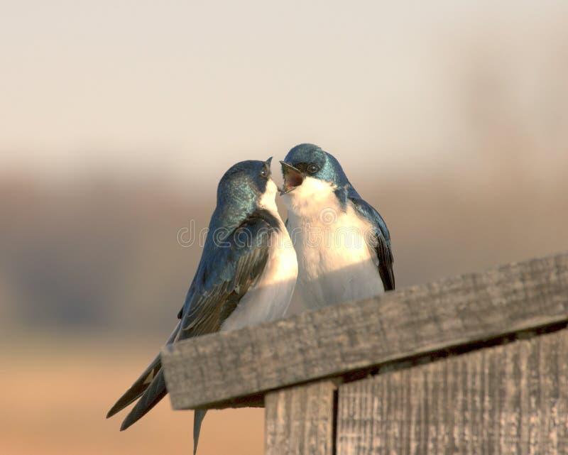 Uccelli di amore fotografie stock libere da diritti