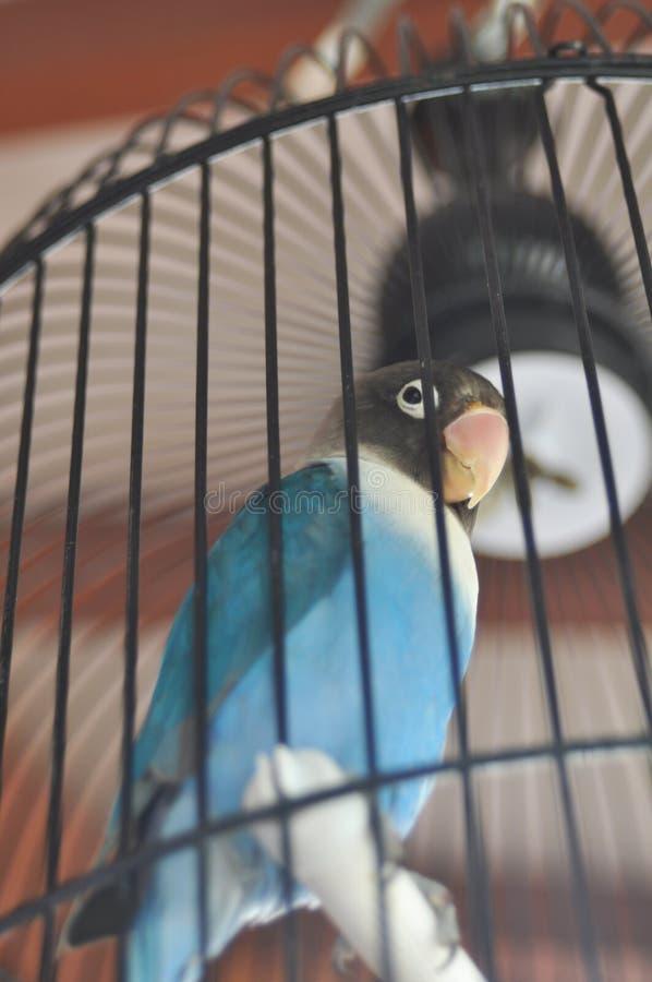 Uccelli di amore chiusi a chiave in gabbie da solo fotografie stock libere da diritti