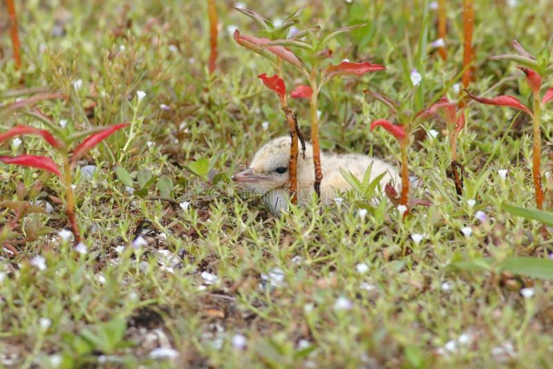 Uccelli di bambino svegli dei piccoli della sterna albifrons di Sternula della Tailandia fotografia stock