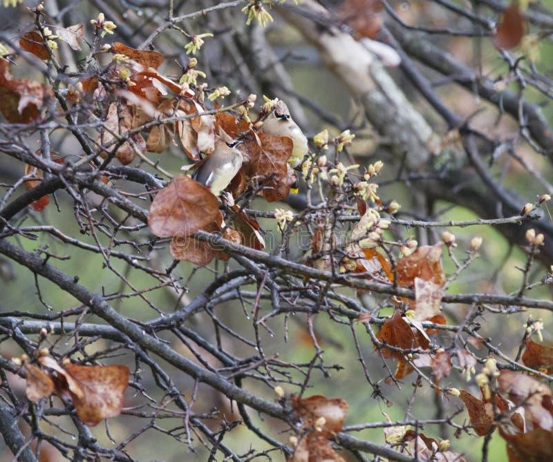 Uccelli di Cedar Waxwing cammuffati in una quercia immagine stock libera da diritti