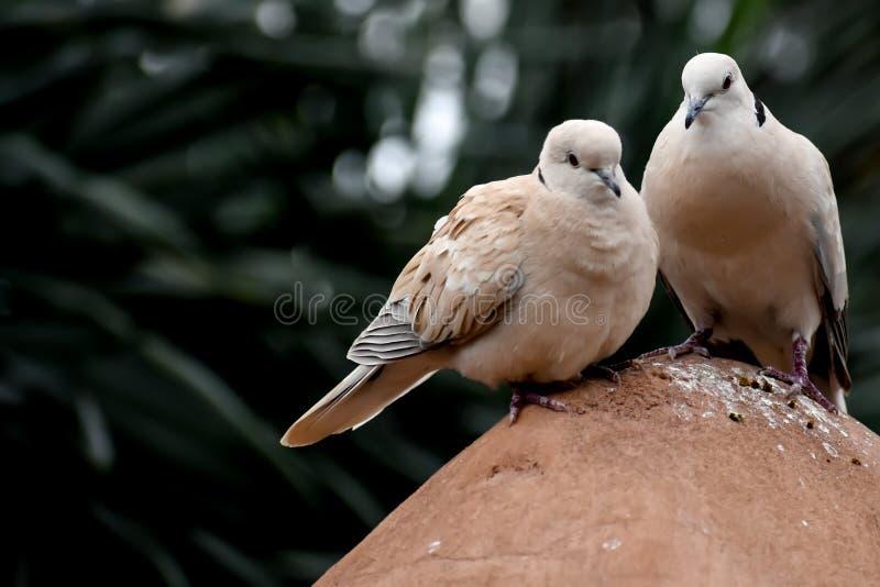Uccelli di dolore della colomba che si siedono sulla roccia fotografia stock libera da diritti