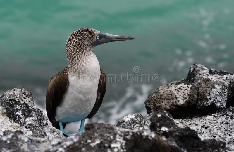 Uccelli 30 di Galapagos fotografia stock