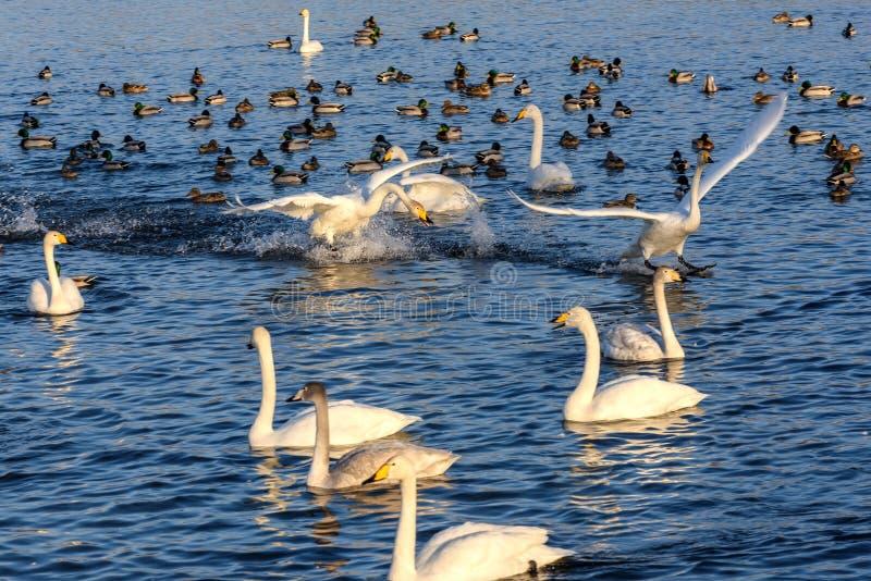 Uccelli di inverno di lotta del lago swan fotografia stock