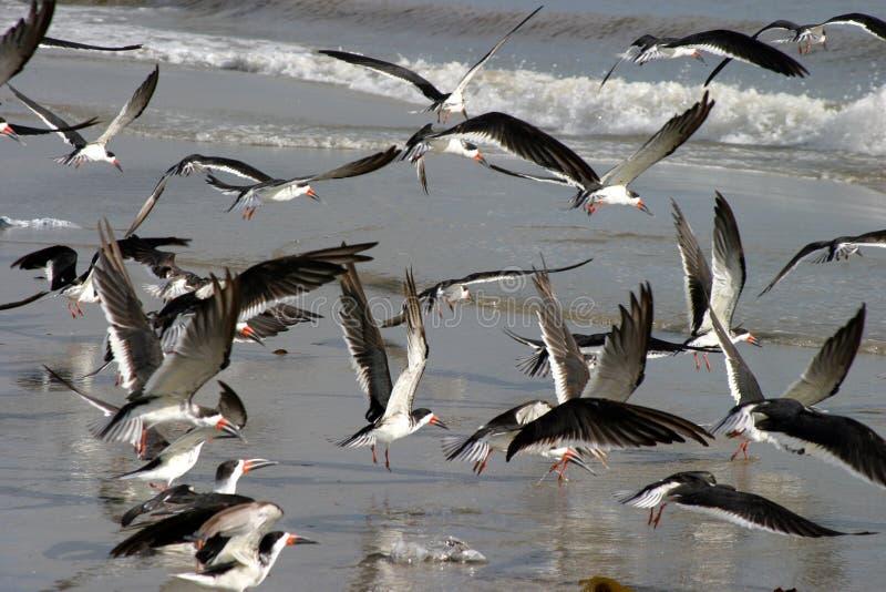 Uccelli Di Mare Immagini Stock Libere da Diritti