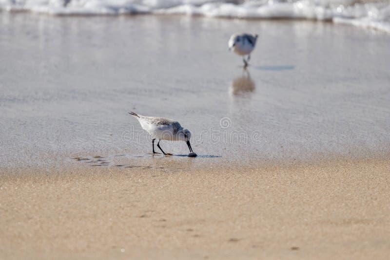 Uccelli di Sanderling sul litorale che mangiano i granchi della sabbia fotografie stock libere da diritti