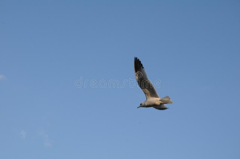 Uccelli di Sanderpipers sul lago nel villaggio di Ocoee fotografie stock libere da diritti