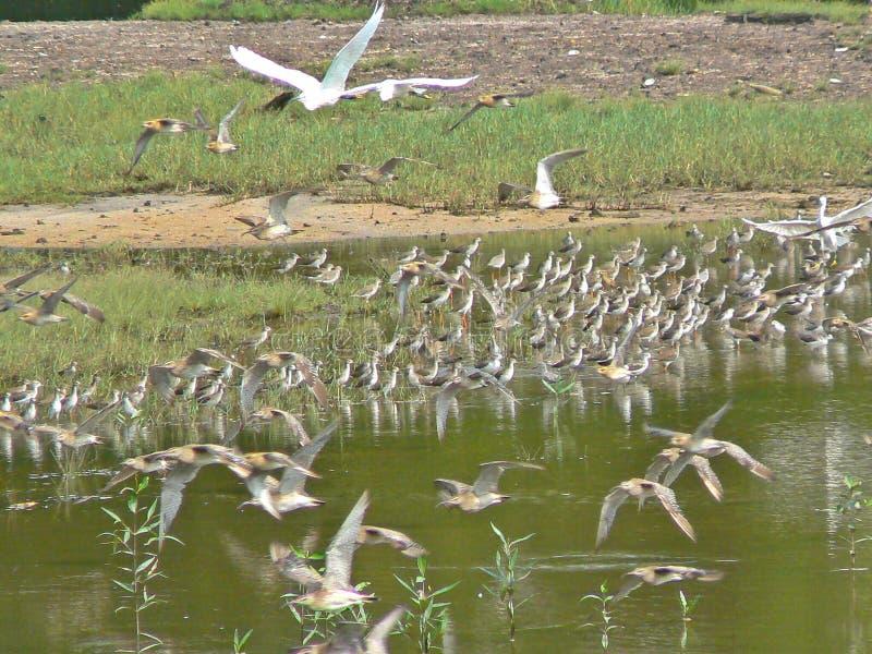 Uccelli di volo nella riserva della zona umida di Sungei Buloh, Singapore fotografie stock libere da diritti