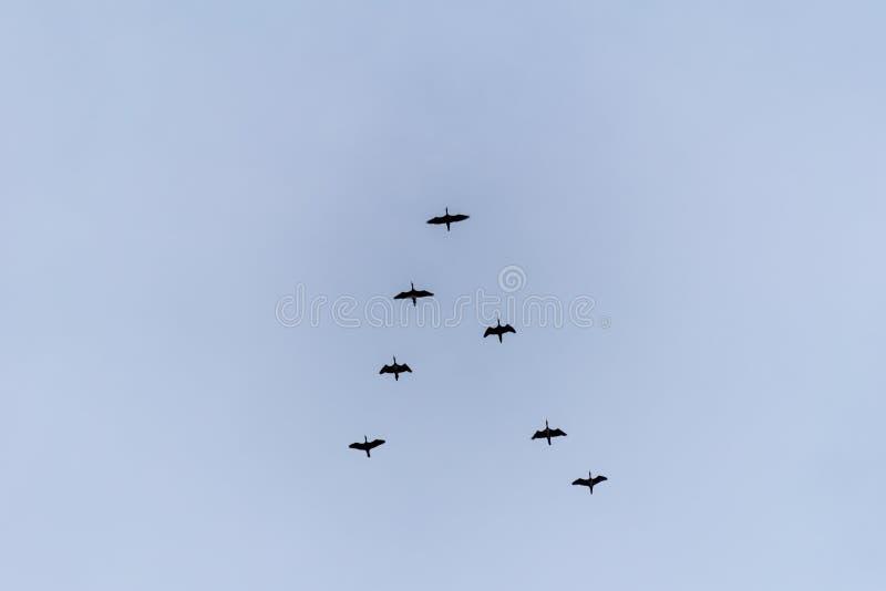Uccelli di volo sul cielo fotografia stock libera da diritti