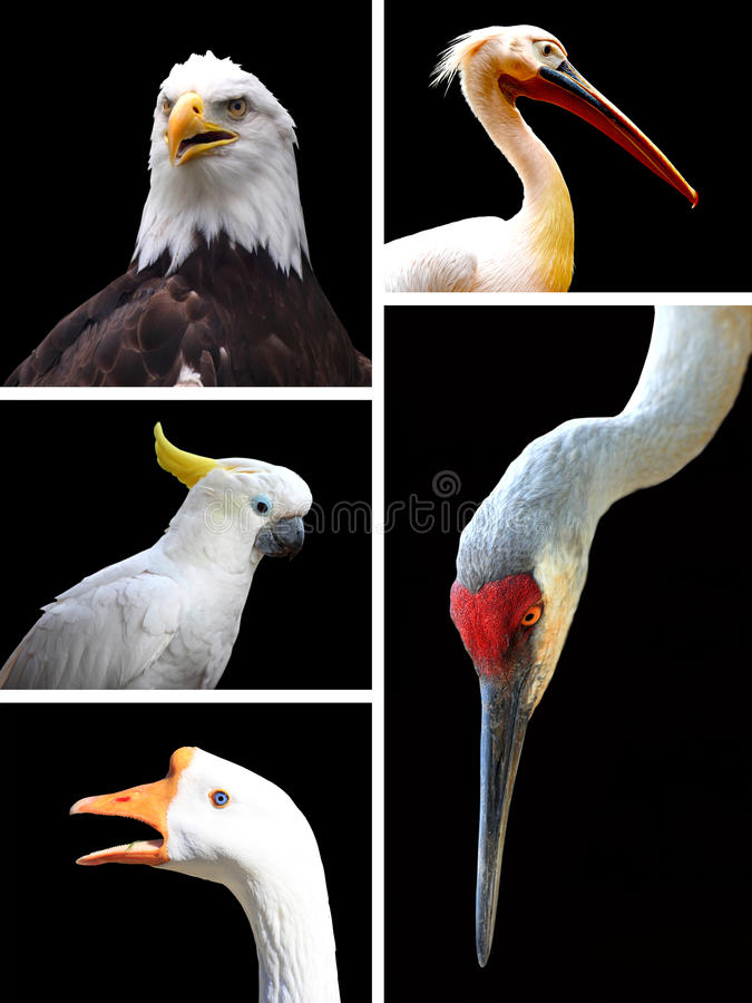 Uccelli differenti isolati su fondo nero fotografia stock libera da diritti