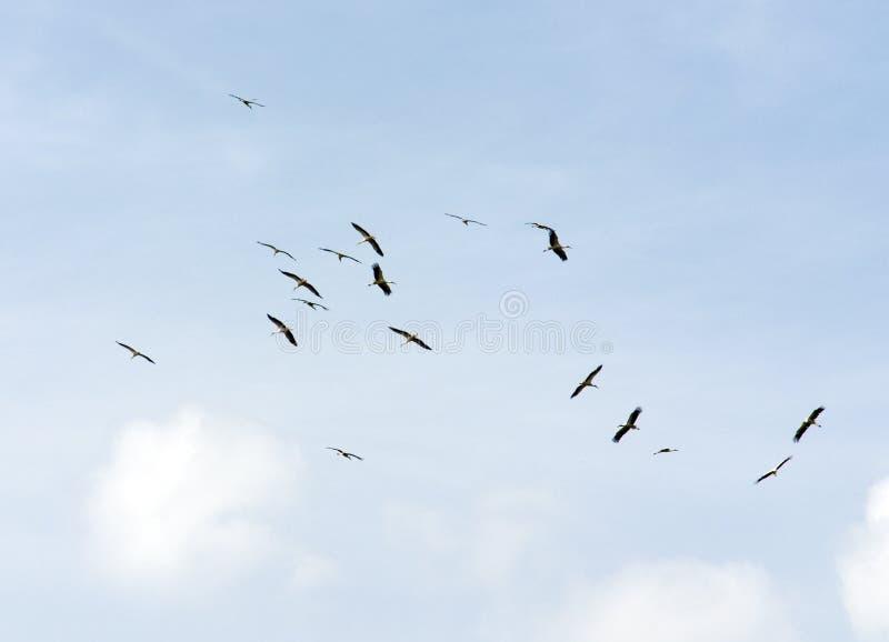 Uccelli durante il volo fotografia stock