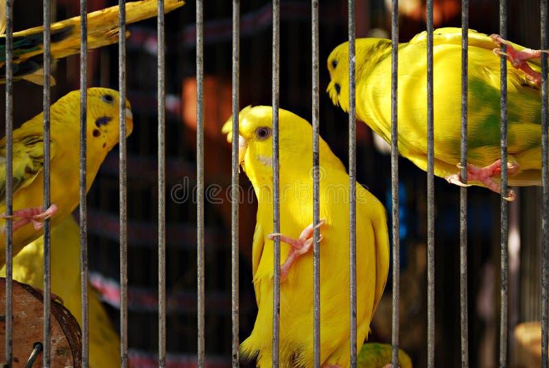 Uccelli gialli messi in gabbia del pappagallo di Budgie immagine stock libera da diritti