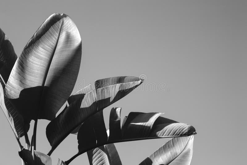 Uccelli giganti della fine di paradiso sull'immagine in bianco e nero immagine stock libera da diritti