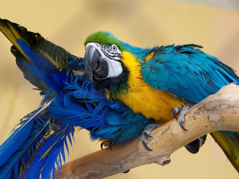 Uccelli grandi di conversazione tropicali luminosi multicolori del pappagallo dell'ara fotografie stock libere da diritti