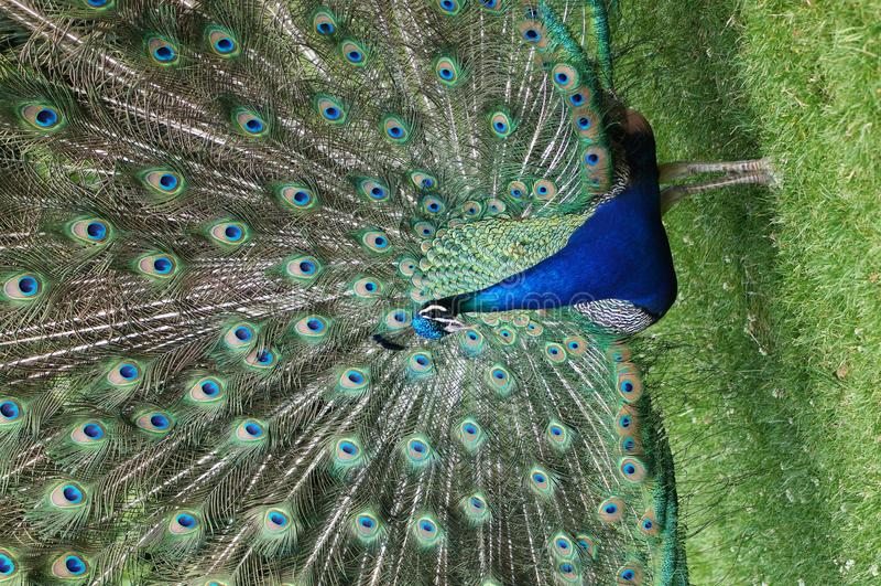 Uccelli indyjski indiano zampa del pavone immagine stock - Immagini pavone a colori ...
