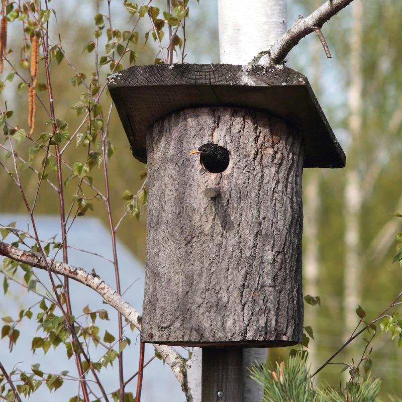 Uccelli - lo storno comune guarda da un nido immagini stock libere da diritti