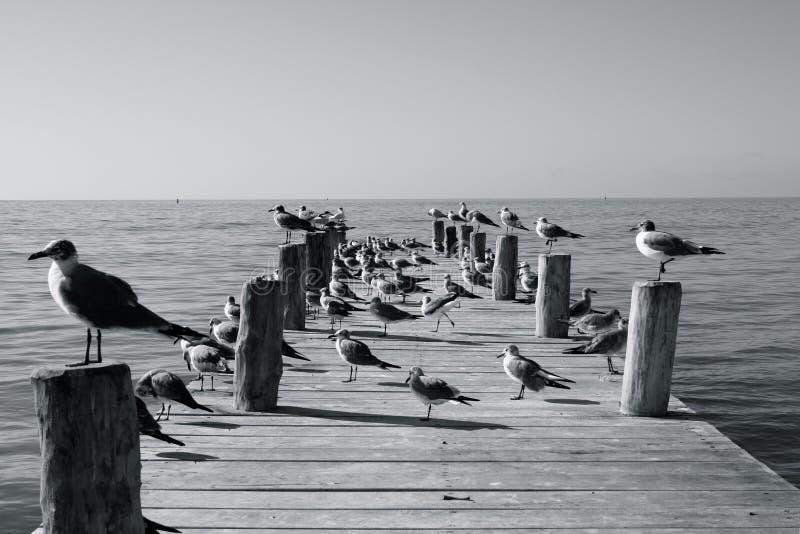 Uccelli marini su un molo soleggiato fotografie stock libere da diritti