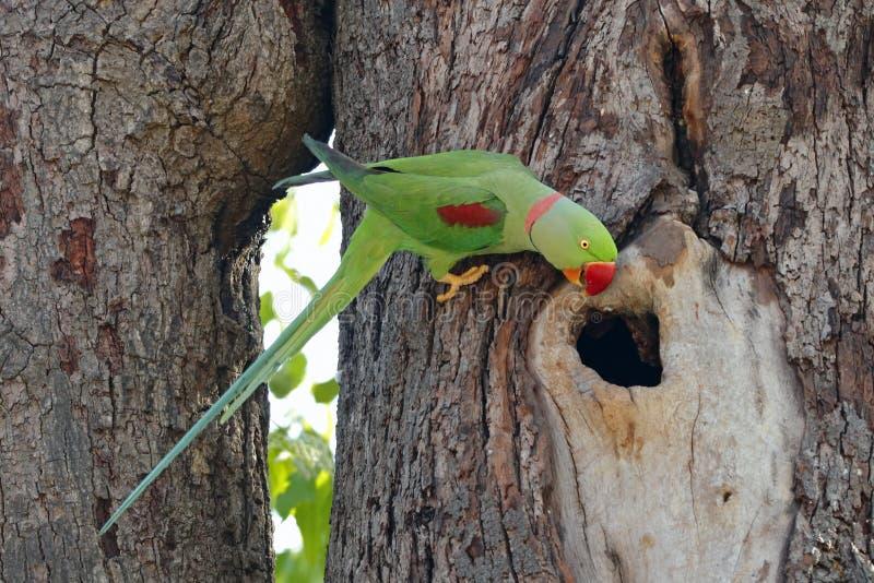 Uccelli maschii di eupatria di Alexandrine Parakeet Psittacula bei della Tailandia fotografia stock libera da diritti