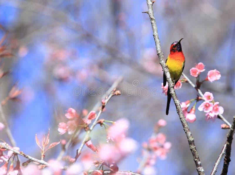 Uccelli maschii di gouldiae di Aethopyga di sunbird del ` s di sig.ra Gould della Tailandia fotografie stock libere da diritti