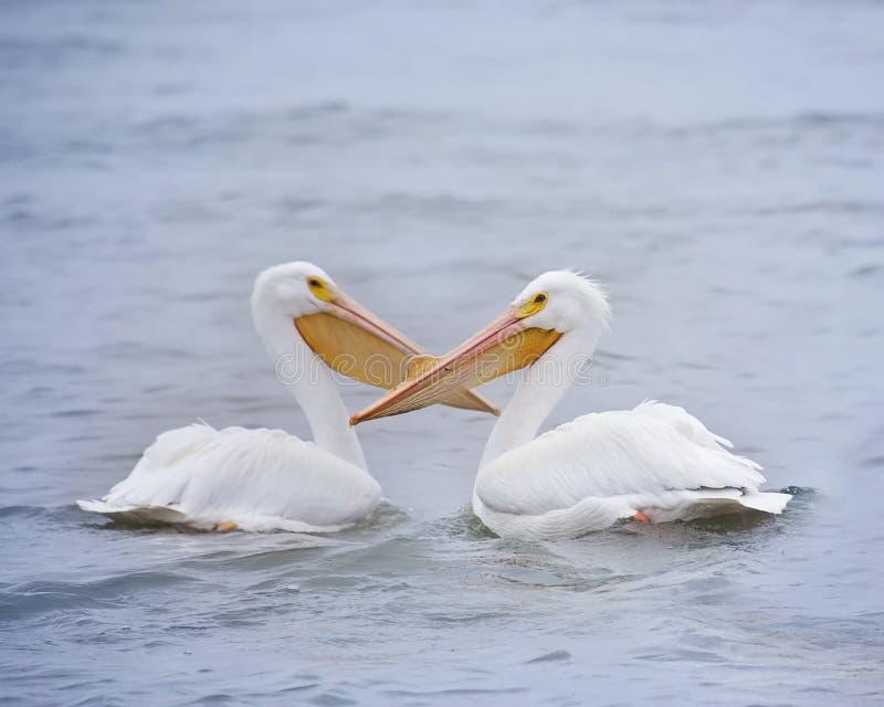 Uccelli maschii e femminili di amore del pellicano immagini stock