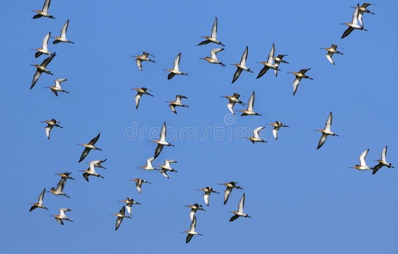 Uccelli migratori immagini stock