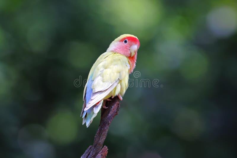 uccelli molto svegli dalla faccia ottimistica di roseicollis del Agapornis di piccioncino dalla faccia pesca immagine stock