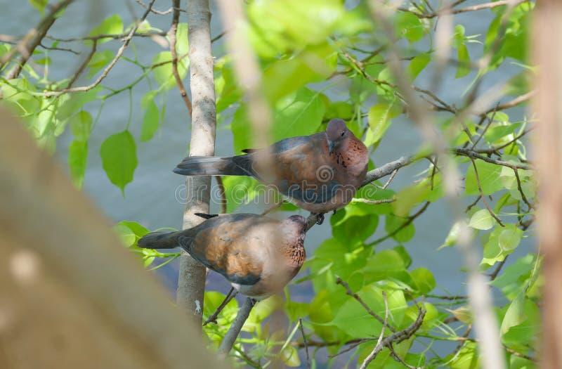 Uccelli nell'amore immagine stock libera da diritti