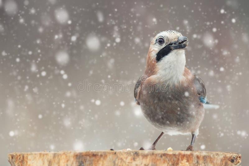 Uccelli nell'inverno - ghiandaia euroasiatica, glandarius del Garrulus, sedentesi su un bastone durante le precipitazioni nevose immagini stock libere da diritti