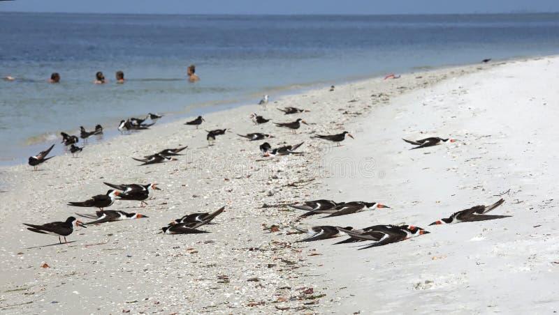 Uccelli neri della scrematrice che dormono sulla spiaggia fotografia stock