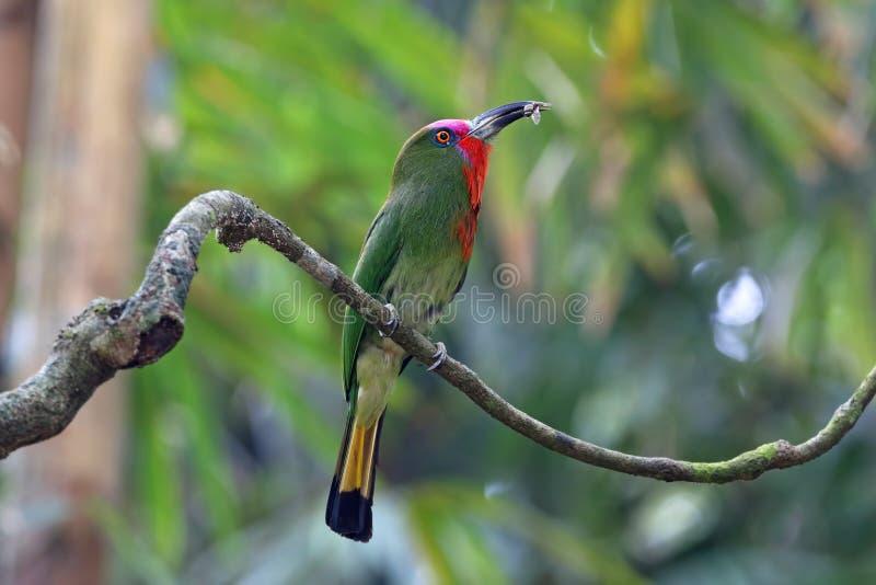 uccelli Rosso-barbuti di amictus di Nyctyornis del Ape-mangiatore che mangiano insetto immagini stock libere da diritti