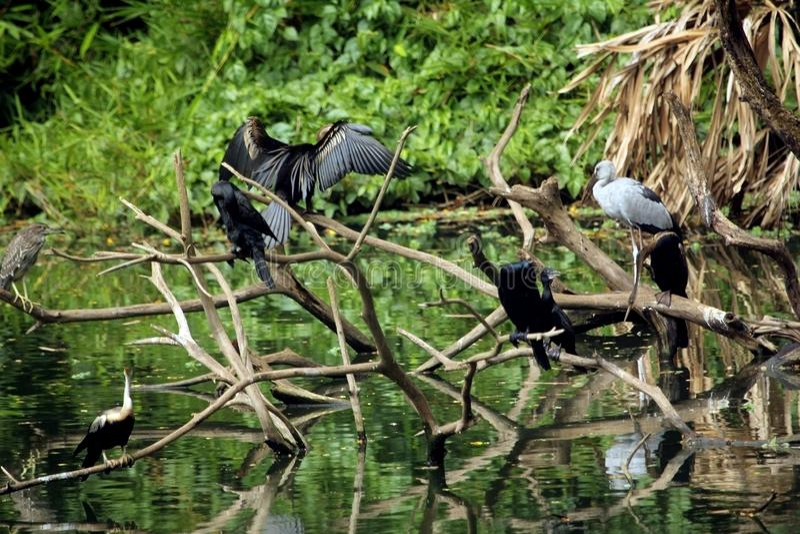 Uccelli selvaggi che riposano sui rami di albero morti sopra l'acqua del lago fotografia stock