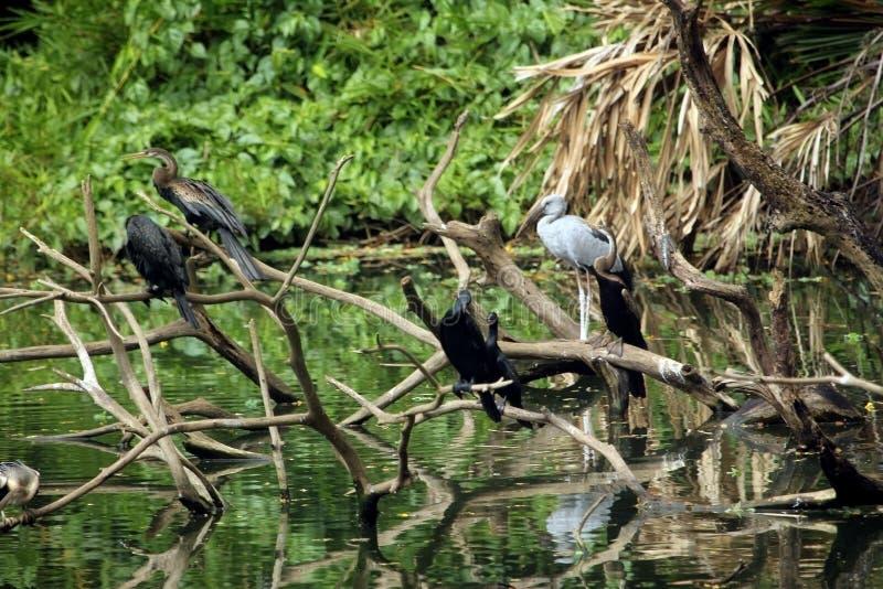 Uccelli selvaggi che riposano sui rami di albero morti sopra l'acqua del lago immagine stock libera da diritti