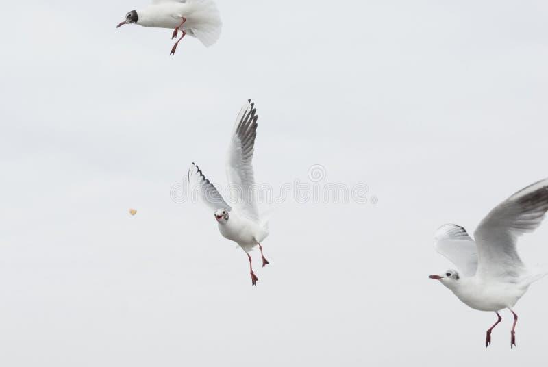 Uccelli selvaggi del gabbiano che pilotano e che cercano alimento immagini stock