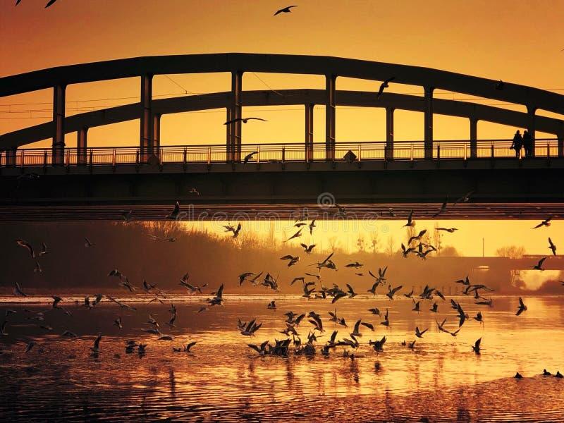 uccelli sopra la Vistola fotografia stock libera da diritti