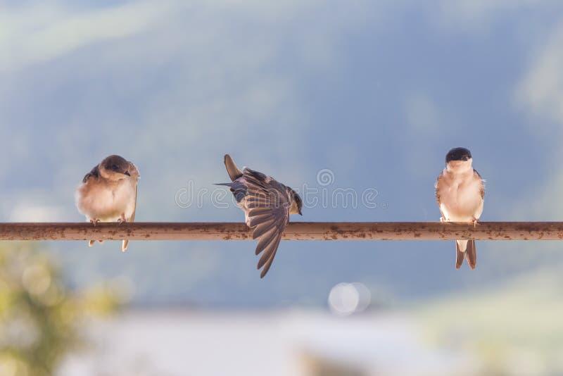 Uccelli (sorsi) su una barra trasversale fotografia stock libera da diritti