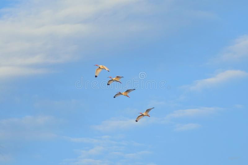 Uccelli sul cielo fotografia stock libera da diritti