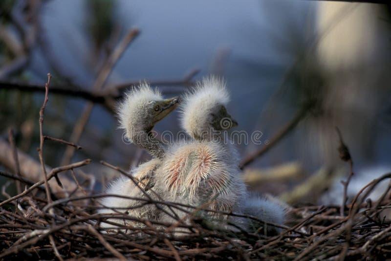 Uccelli Sul Nido Immagine Stock Libera da Diritti
