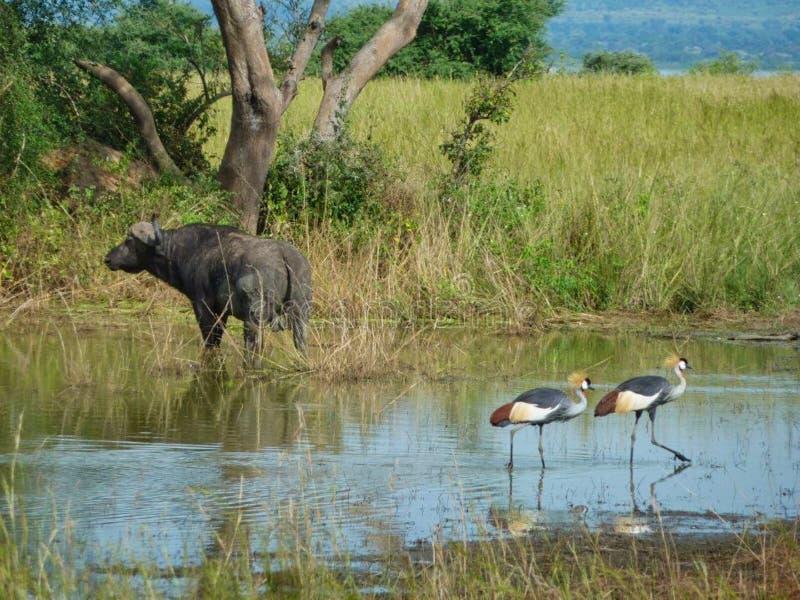 uccelli in un lago con un bisonte immagine stock libera da diritti