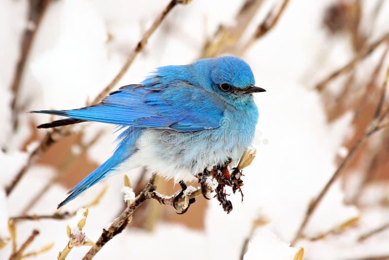 Uccellino azzurro della montagna fotografia stock libera da diritti