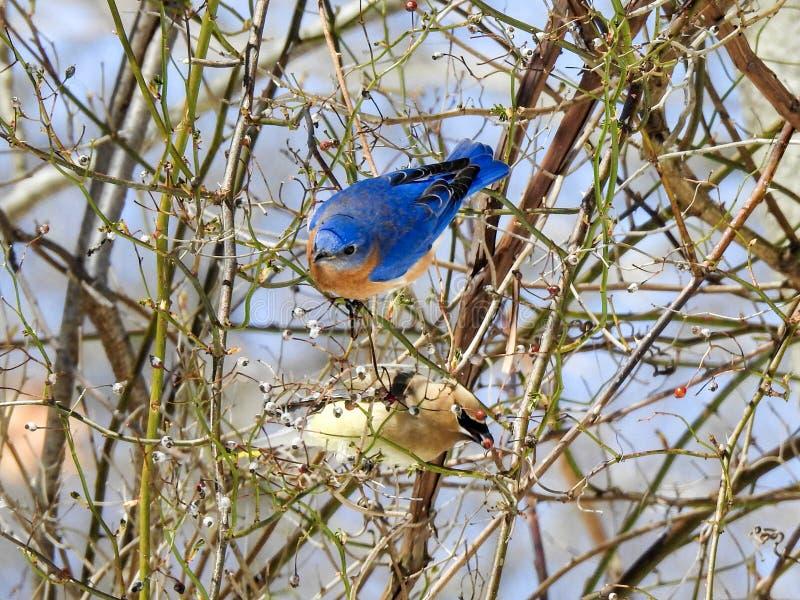 Uccellino azzurro e Cedar Waxwing Foraging orientali per le bacche fotografie stock libere da diritti
