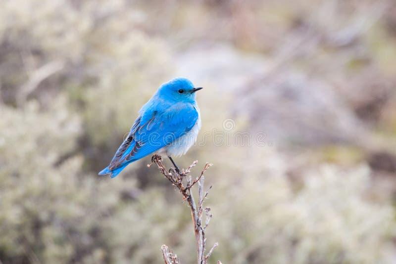 Uccellino azzurro maschio della montagna, parco nazionale di Yellowstone fotografie stock