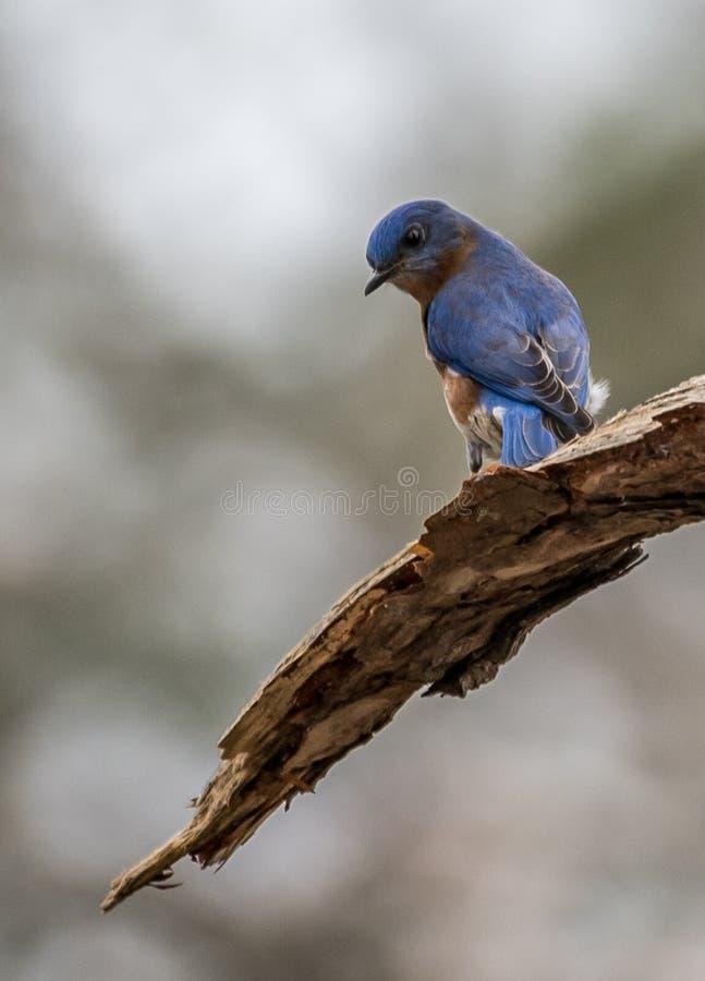 Uccellino azzurro maschio orientale con l'atteggiamento fotografia stock