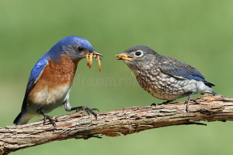 Uccellino azzurro orientale maschio con il bambino immagine stock